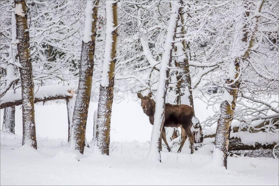 Bragg Creek spring moose - © Christopher Martin-6754