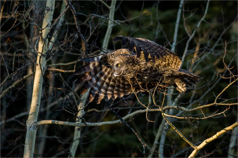Bragg Creek spring owl - © Christopher Martin-5762