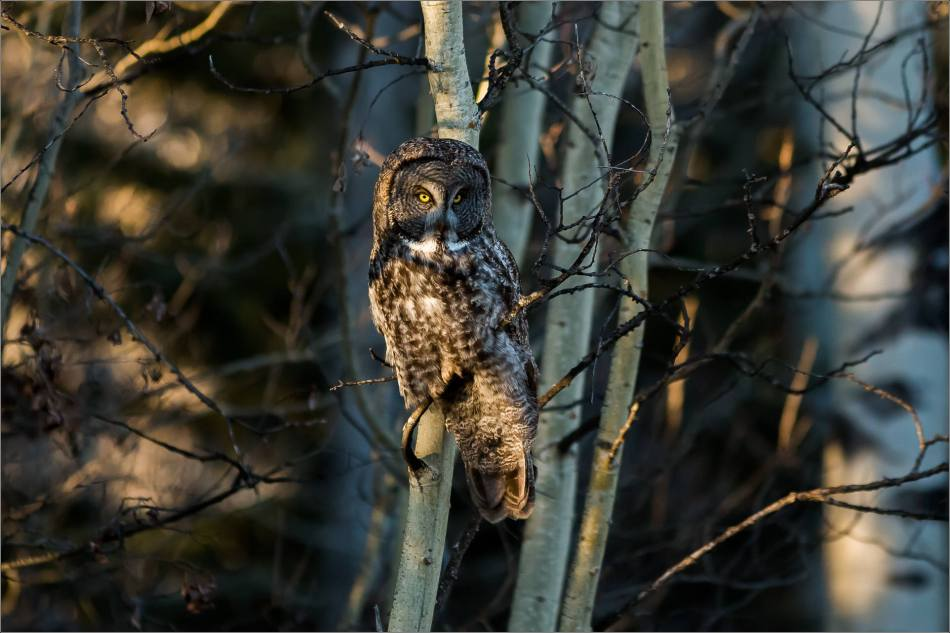 Bragg Creek spring owl - © Christopher Martin-5794