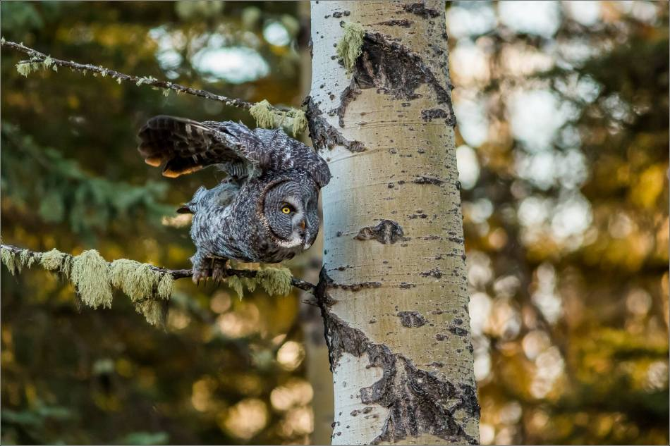 Bragg Creek spring owl - © Christopher Martin-6120