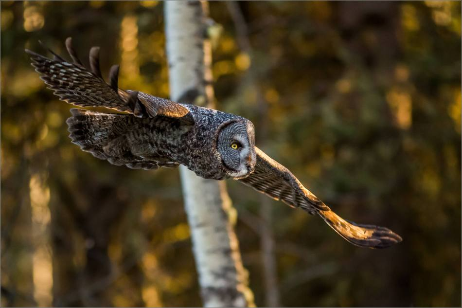 Bragg Creek spring owl - © Christopher Martin-6125