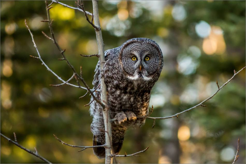 Bragg Creek spring owl - © Christopher Martin-6145