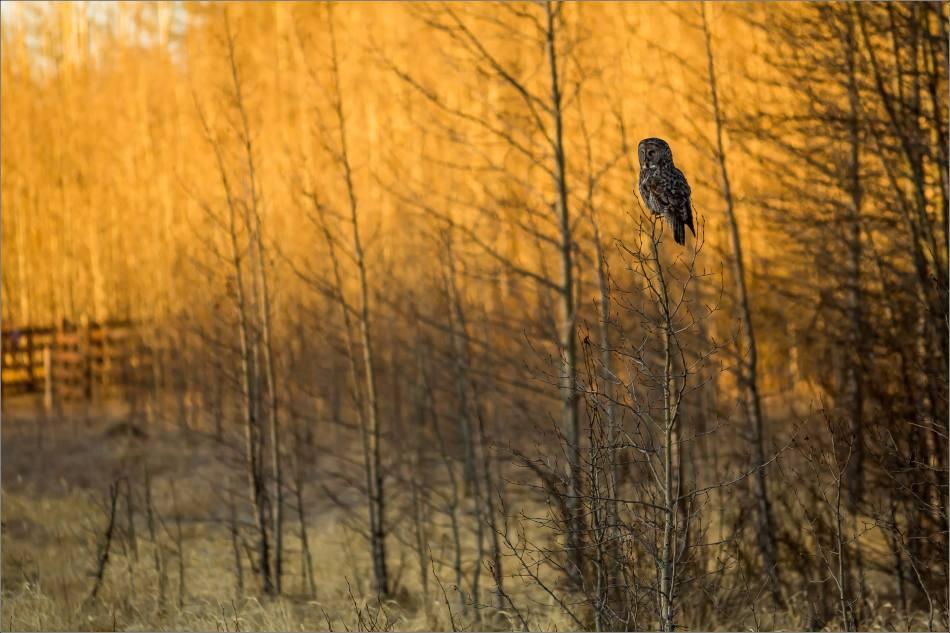 Bragg Creek spring owl - © Christopher Martin-6690