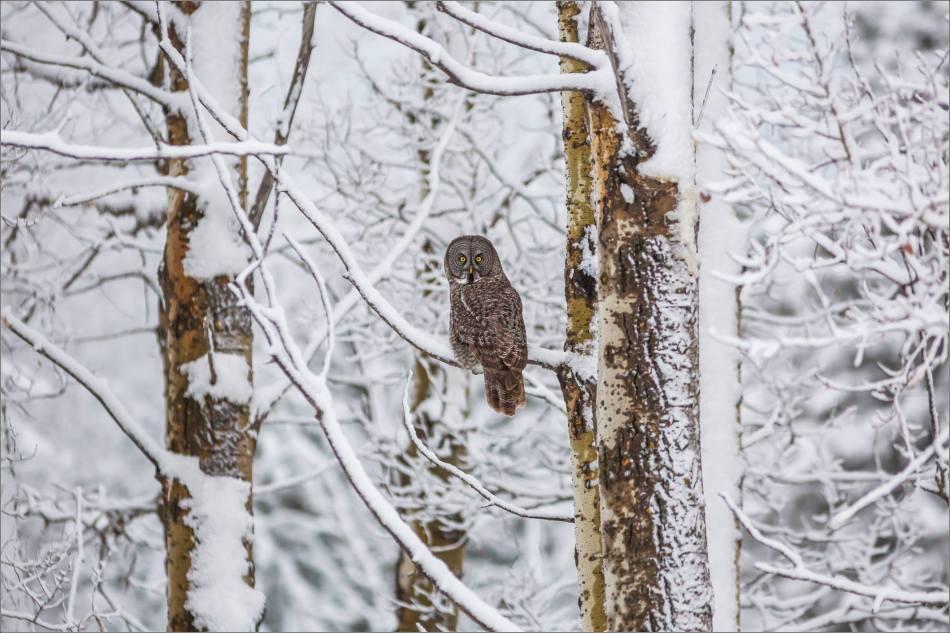 Bragg Creek spring owl - © Christopher Martin-6736