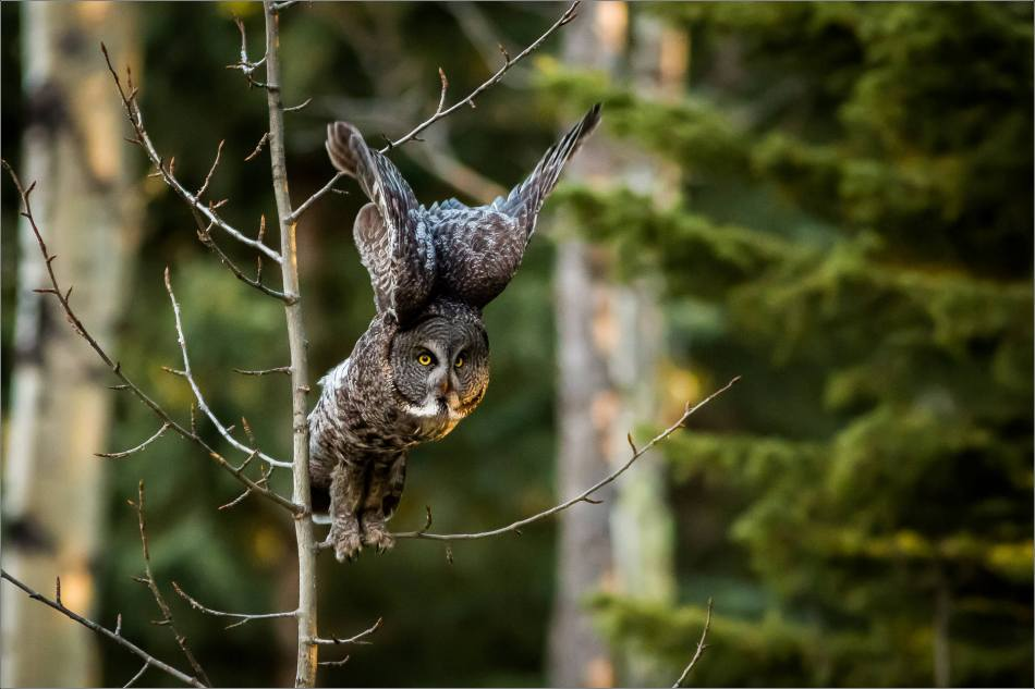 Great gray owl in spring flight - © Christopher Martin-6243