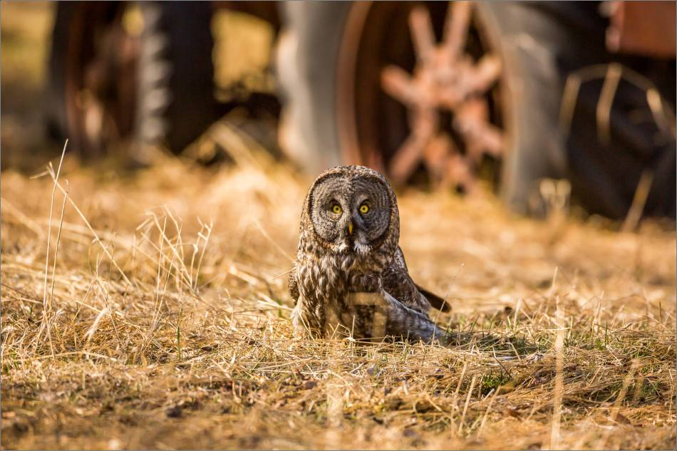 Great gray owl on the field - © Christopher Martin-7550