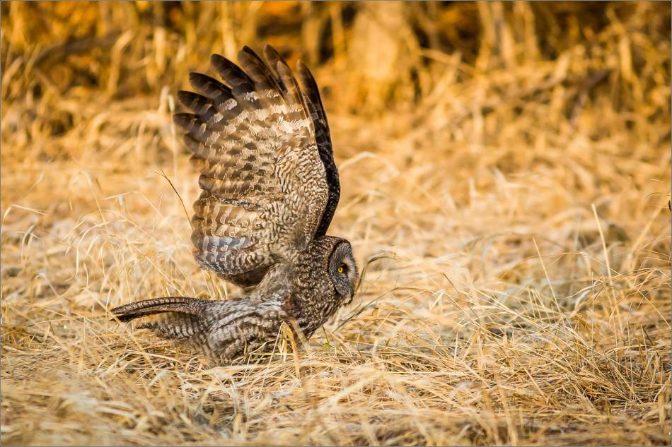 Great gray owl off the ground - © Christopher Martin-6709