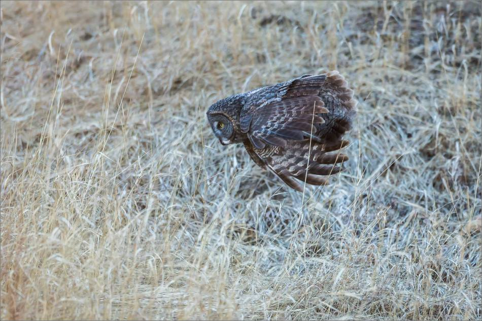 Morning owl in Bragg Creek - © Christopher Martin-5365