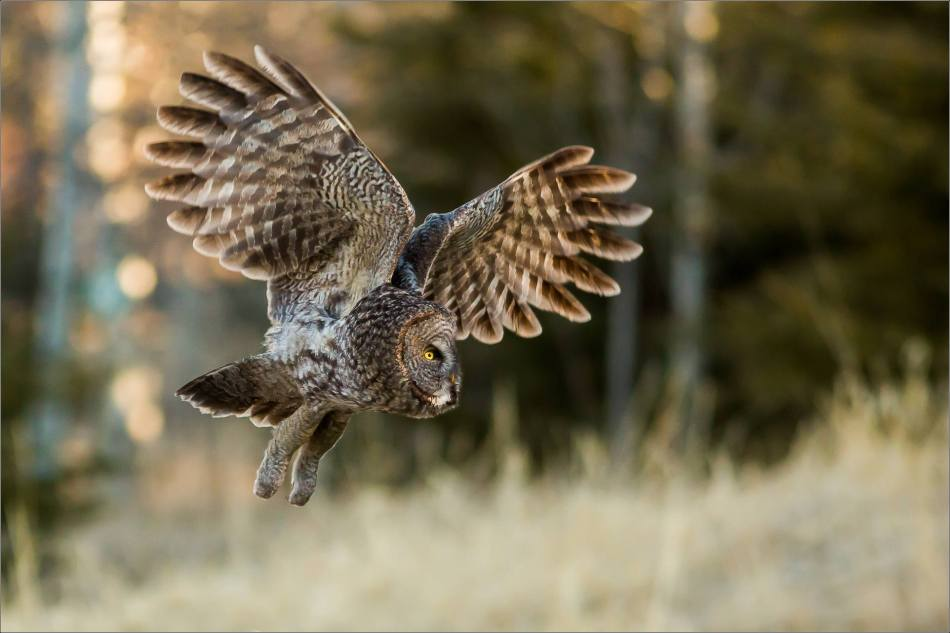 Morning owl in Bragg Creek - © Christopher Martin-6402