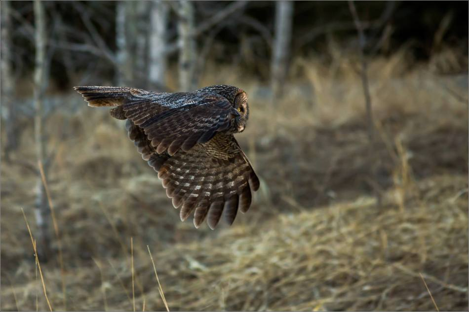 Morning owl in Bragg Creek - © Christopher Martin-6411