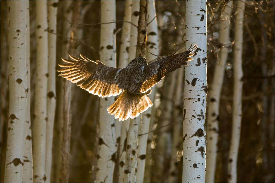Morning owl in Bragg Creek - © Christopher Martin-6445