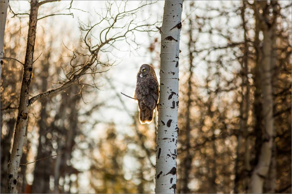 Morning owl in Bragg Creek - © Christopher Martin-6449