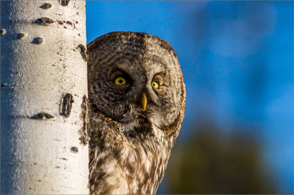 Morning owl in Bragg Creek - © Christopher Martin-6458