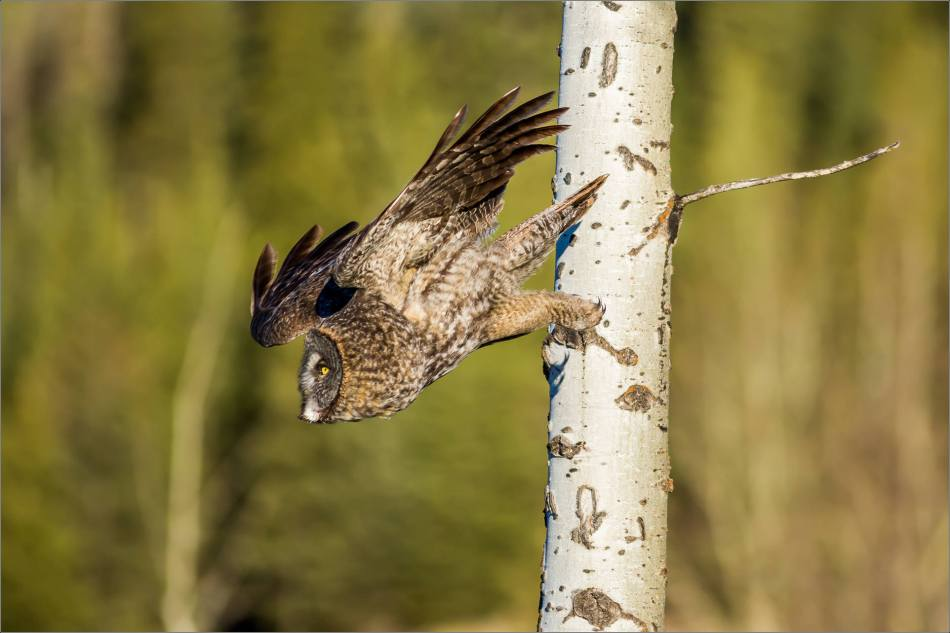 Morning owl in Bragg Creek - © Christopher Martin-6493