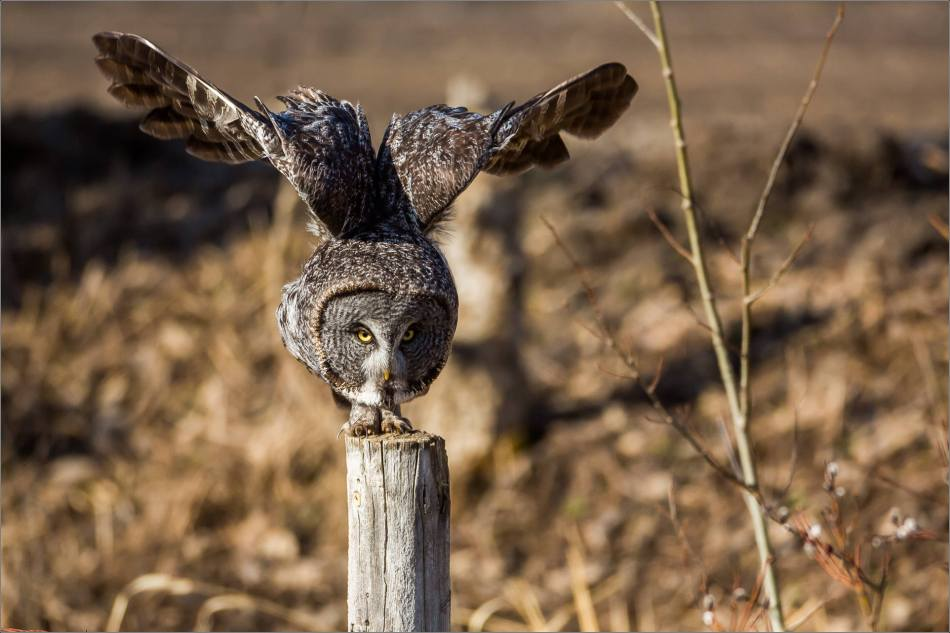Muskeg Great gray owl - © Christopher Martin-6892-2