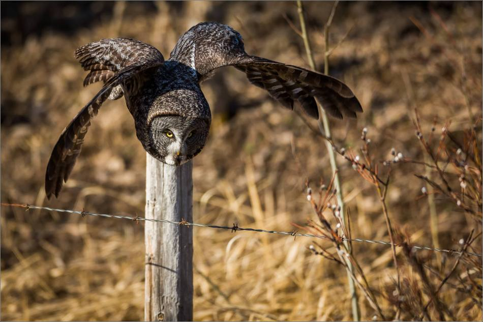 Muskeg Great gray owl - © Christopher Martin-6894