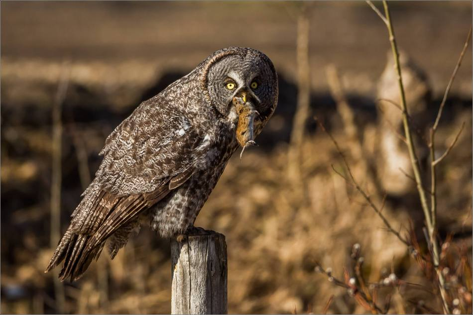 Muskeg Great gray owl - © Christopher Martin-6911