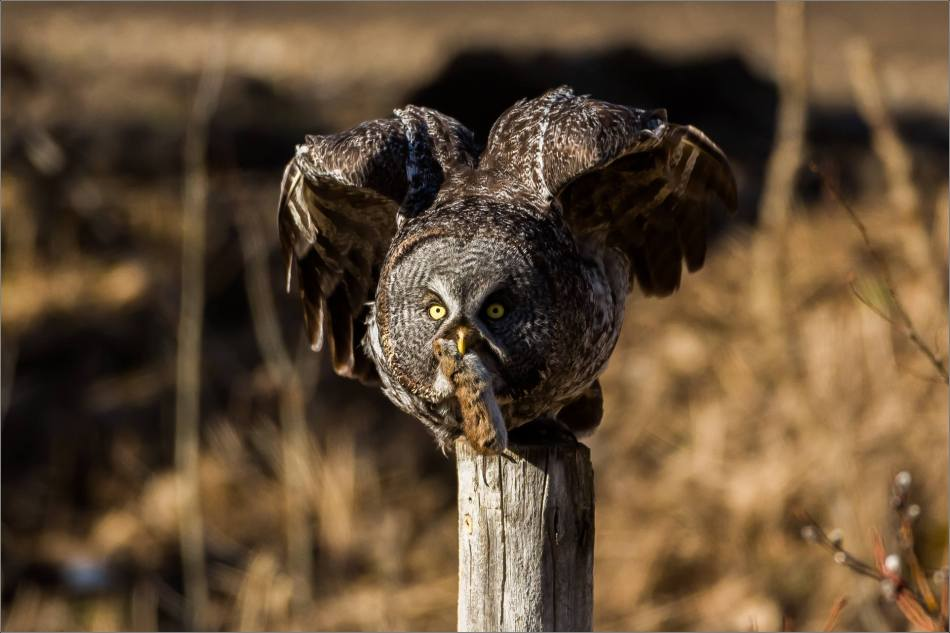Muskeg Great gray owl - © Christopher Martin-6917
