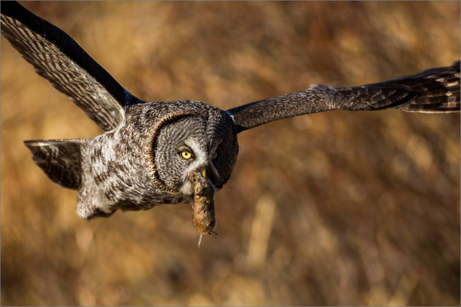 Muskeg Great gray owl - © Christopher Martin-6926-2
