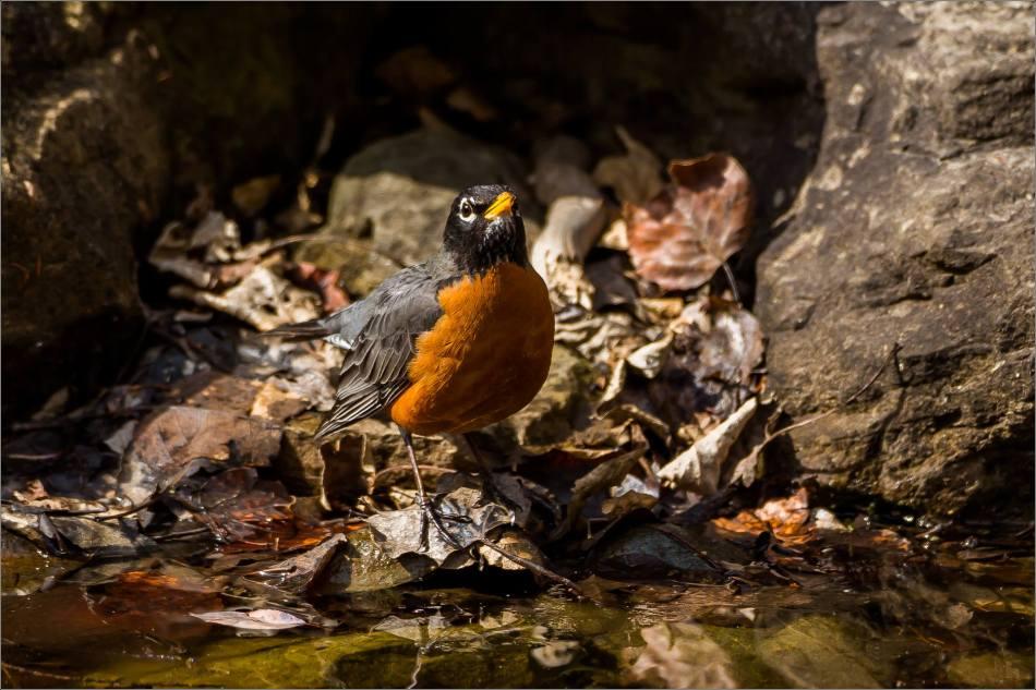 Spring Robin - © Christopher Martin-3448-2