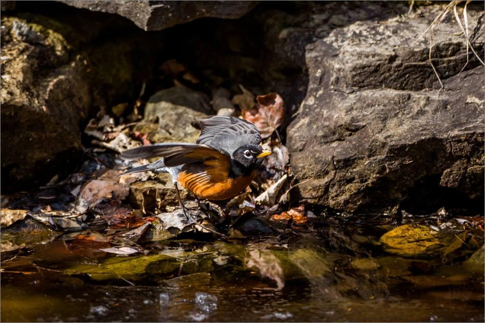 Spring Robin - © Christopher Martin-3454