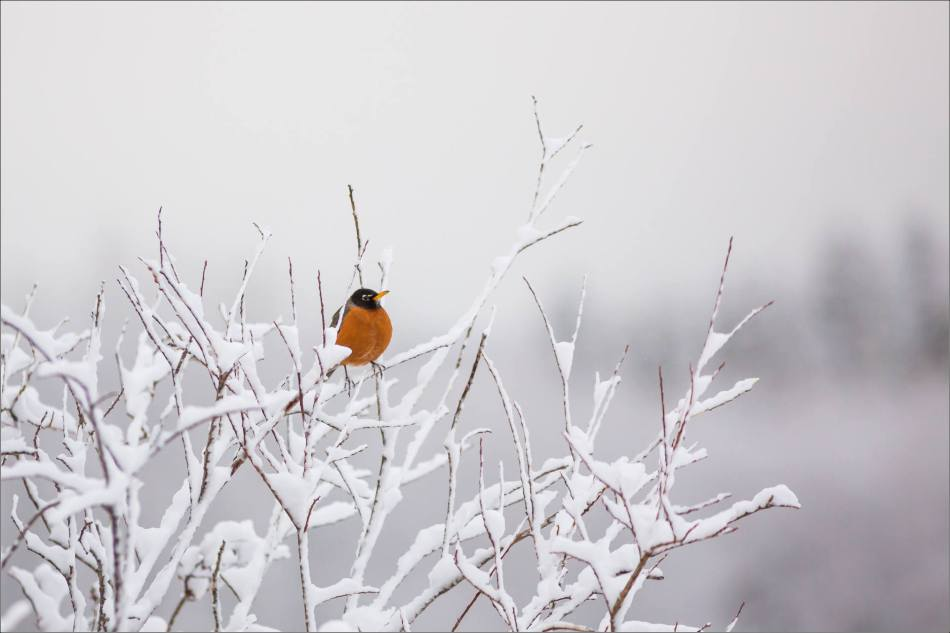 Snow and a spring Robin in Bragg Creek - © Christopher Martin-6828