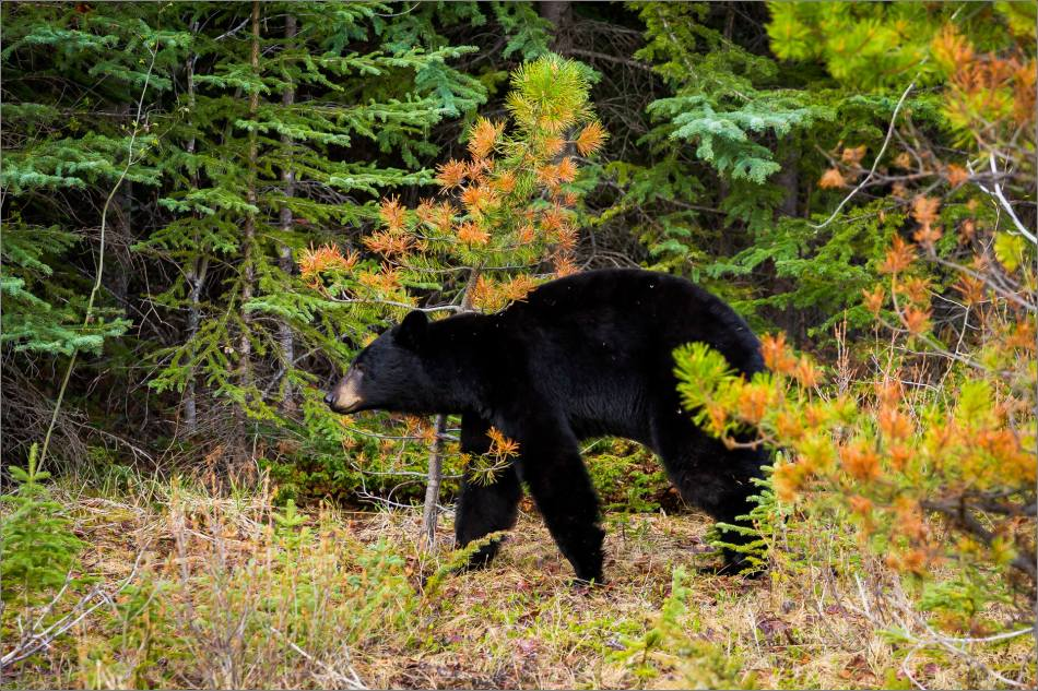 Backscratching bear dancer - © Christopher Martin-9279