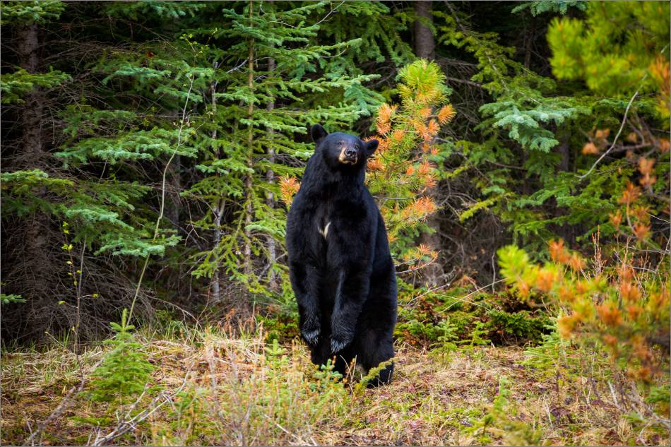Backscratching bear dancer - © Christopher Martin-9286
