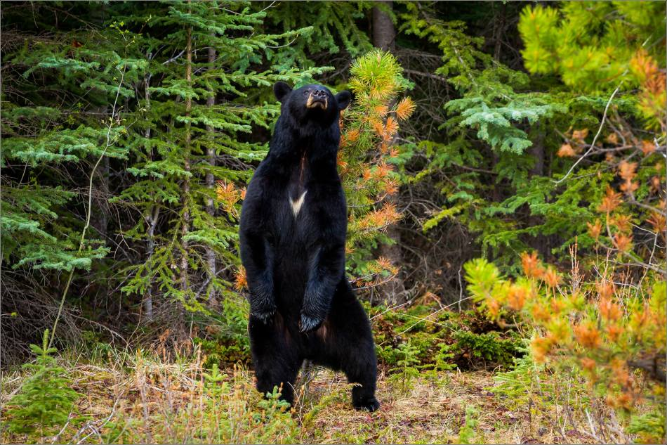 Backscratching bear dancer - © Christopher Martin-9287