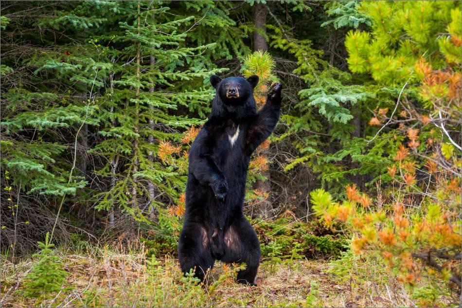 Backscratching bear dancer - © Christopher Martin-9297