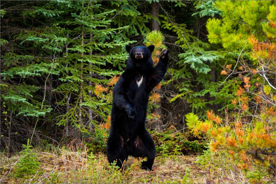Backscratching bear dancer - © Christopher Martin-9297