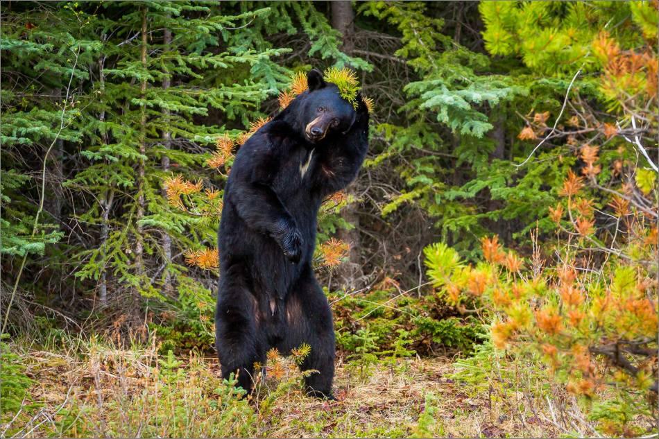 Backscratching bear dancer - © Christopher Martin-9300