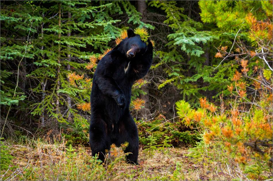 Backscratching bear dancer - © Christopher Martin-9300