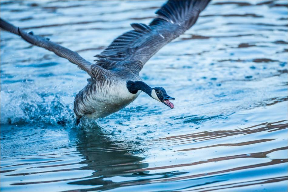 One angry goose - © Christopher Martin-8709