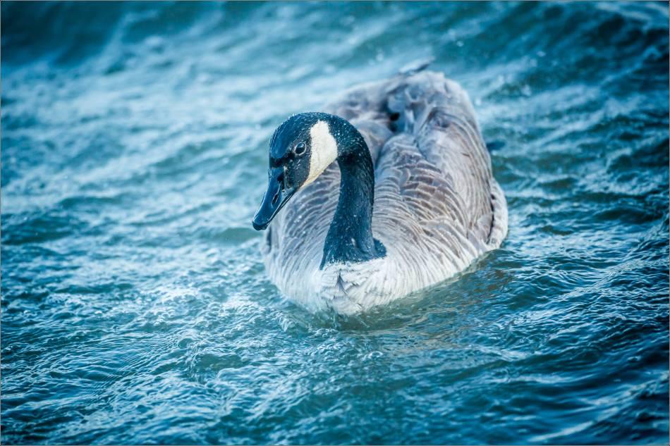 Canada goose portrait - © Christopher Martin-8726