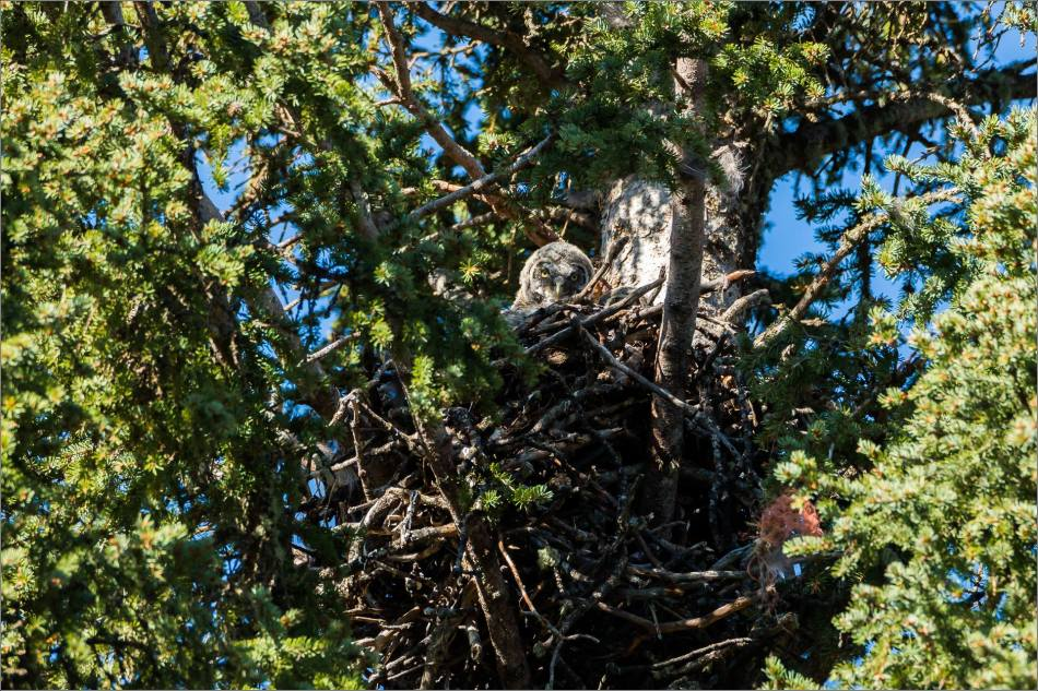 Great gray owlet - © Christopher Martin-9061