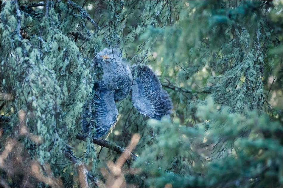 Great gray owlet - © Christopher Martin-9438