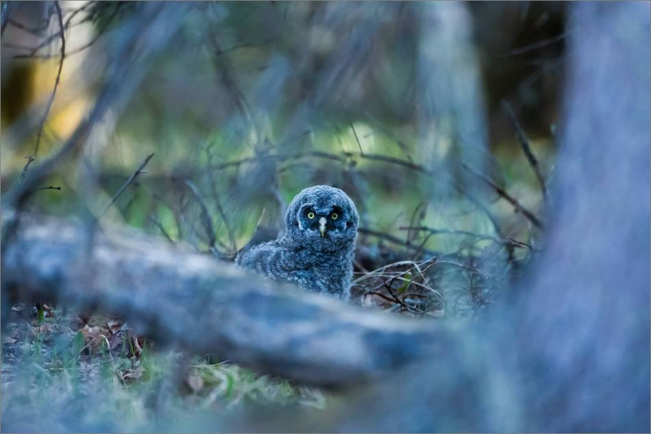 Great gray owlet - © Christopher Martin-9446