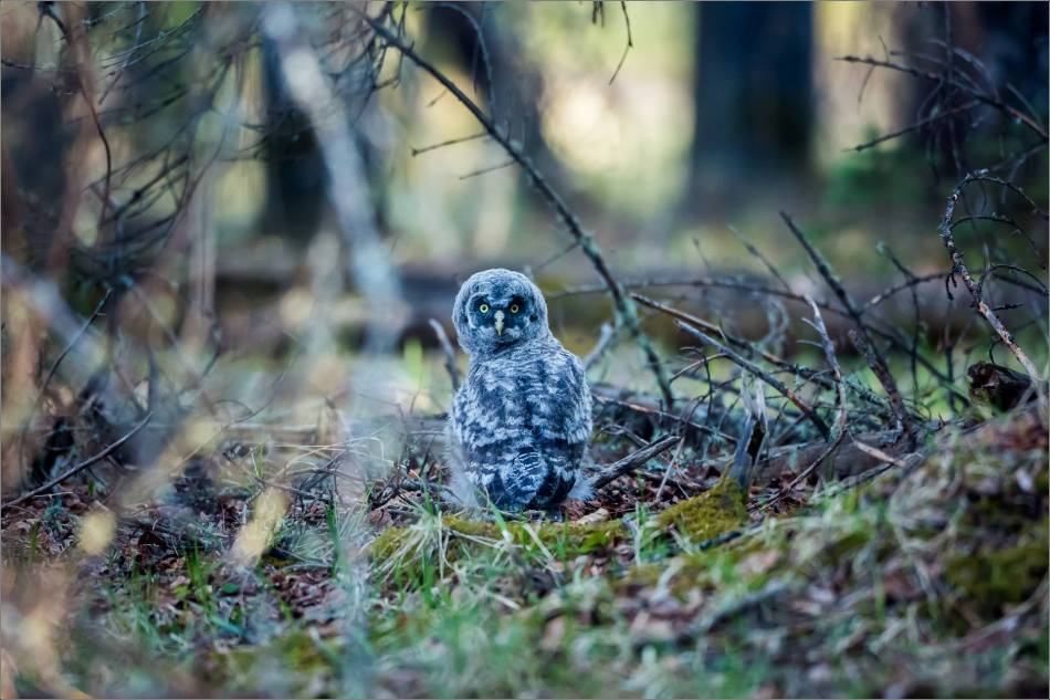 Great gray owlet - © Christopher Martin-9483