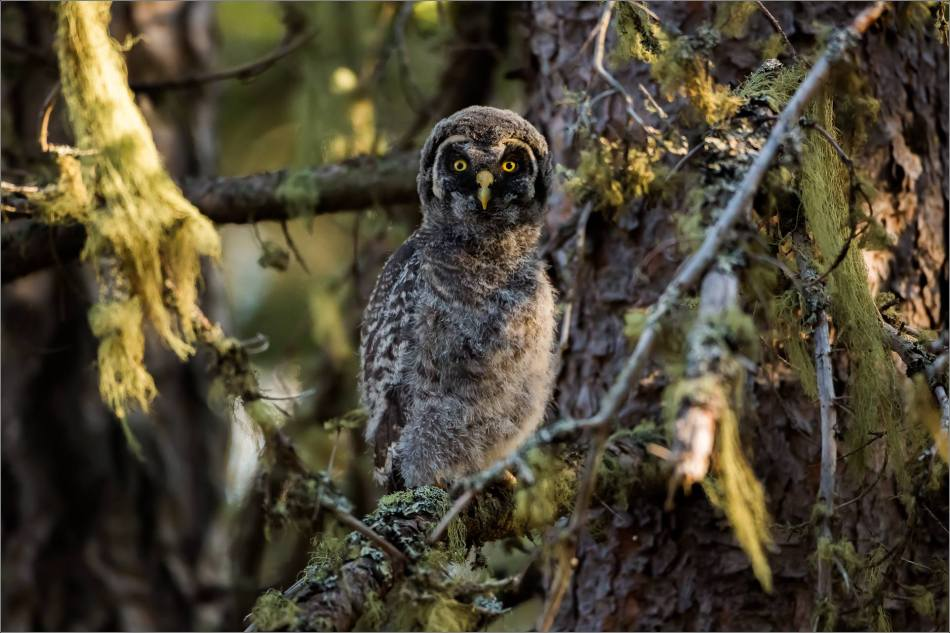 Great gray owlet - © Christopher Martin-9592-2