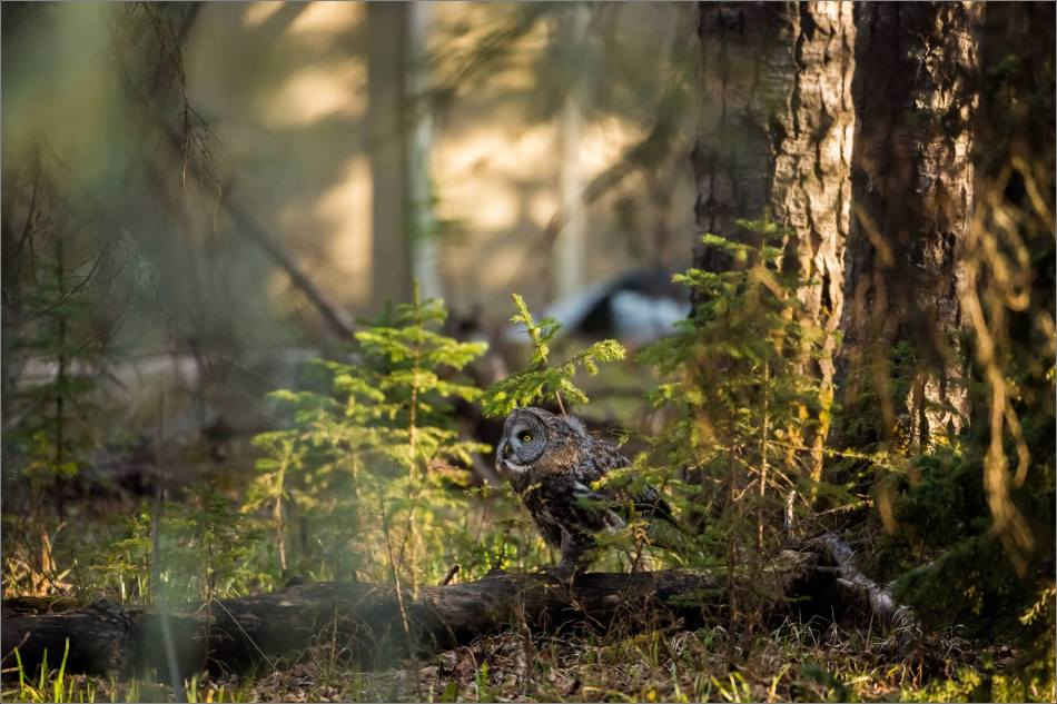 Great gray owlet - © Christopher Martin-9641