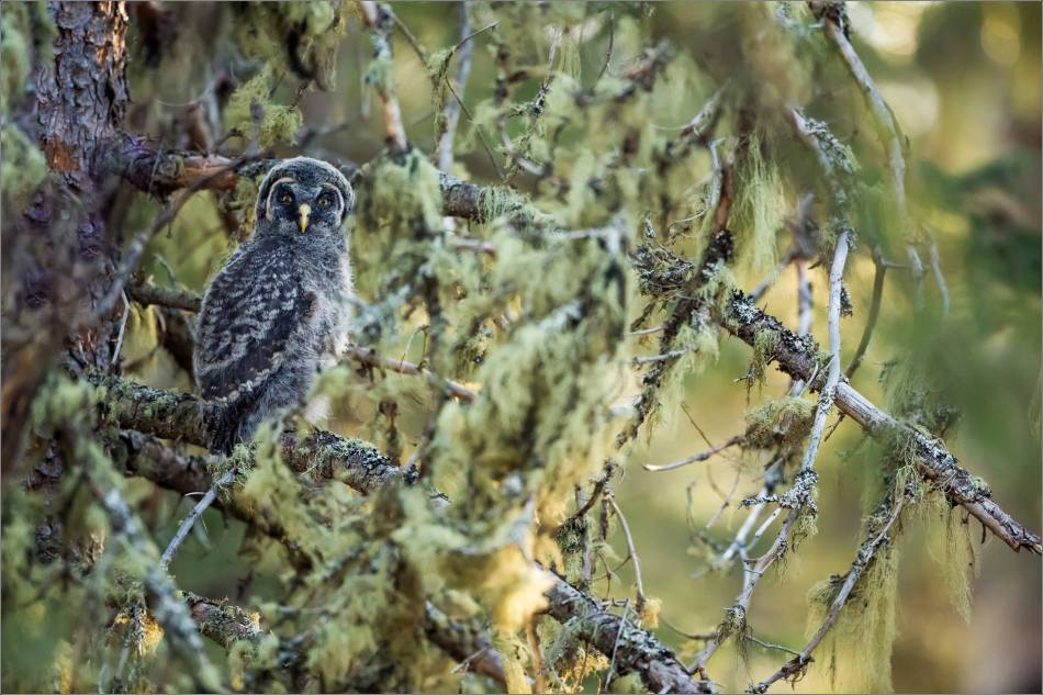Great gray owlet - © Christopher Martin-9655