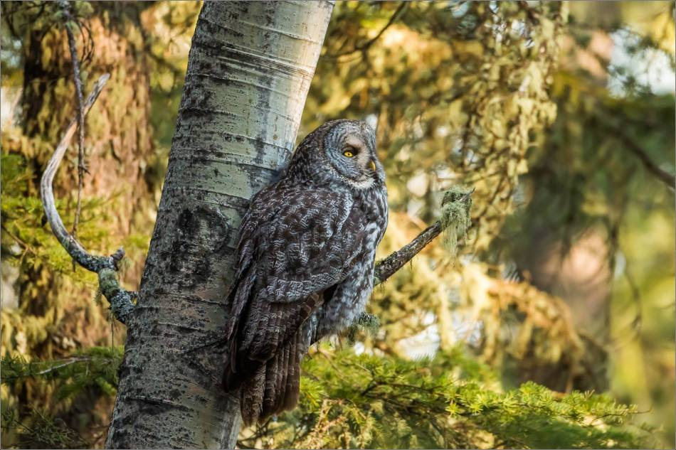 Great gray owlet - © Christopher Martin-9742