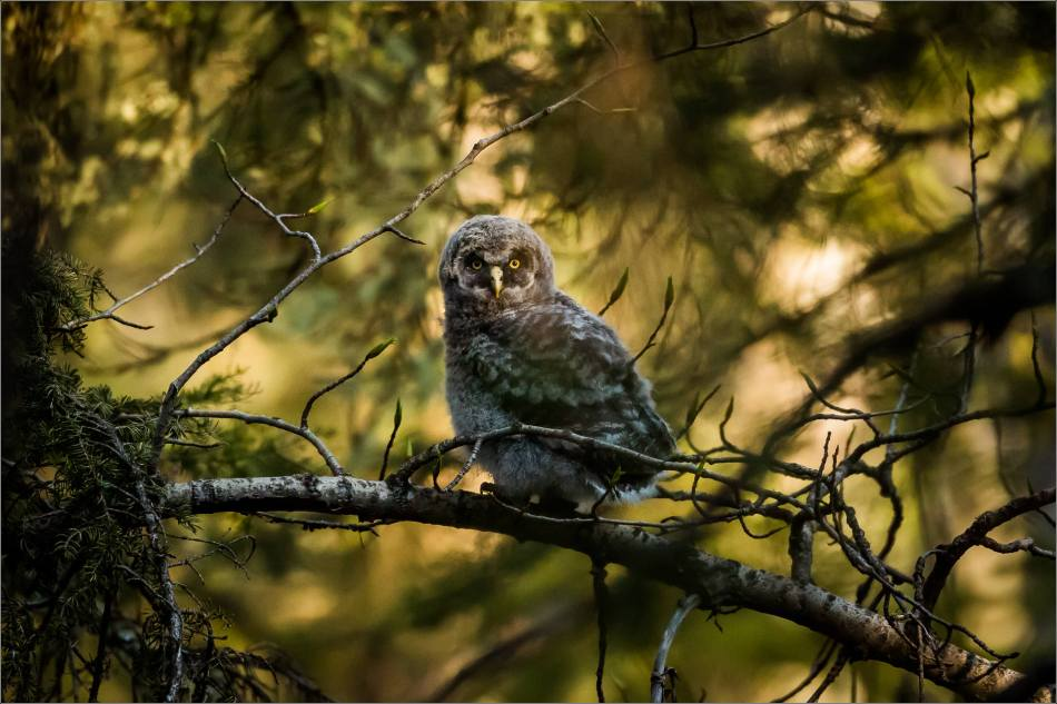 Great gray owlet - © Christopher Martin-9757