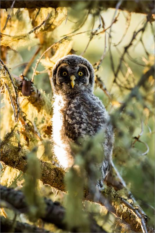 Great gray owlet - © Christopher Martin-9875