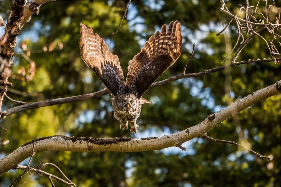 Great gray owl flying in the forest - © Christopher Martin-8140