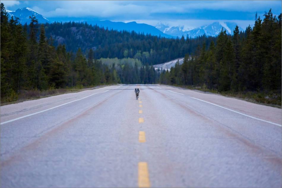Highway 93 Wolf - © Christopher Martin-8963