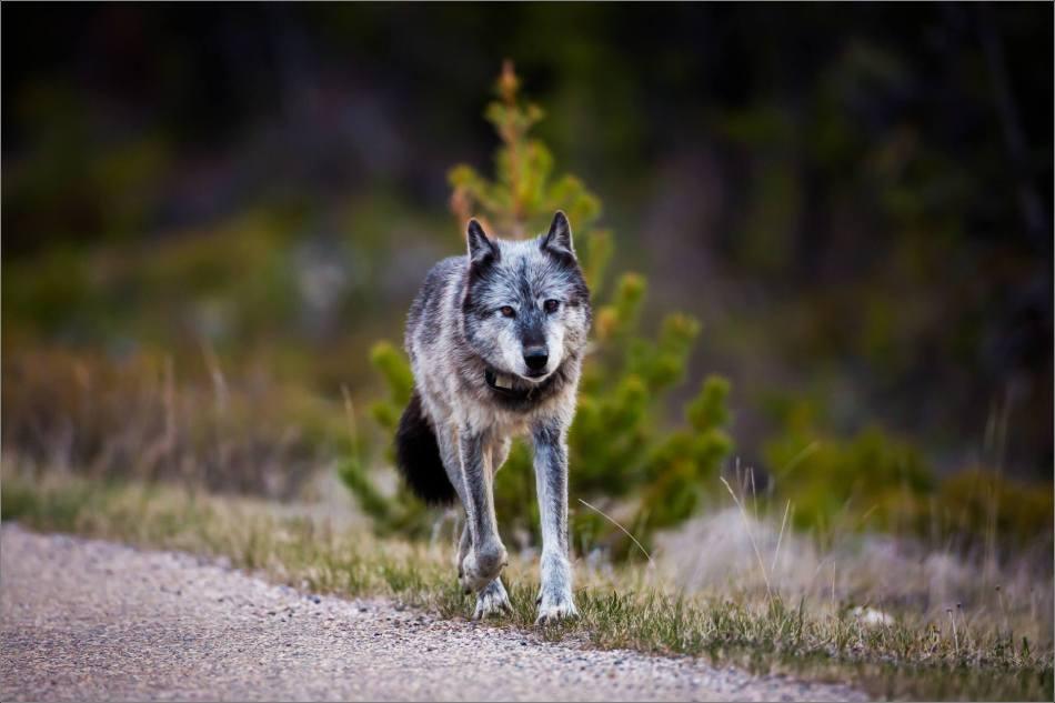 Highway 93 Wolf - © Christopher Martin-8978