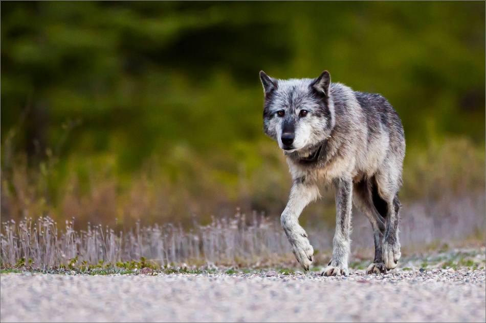 Highway 93 Wolf - © Christopher Martin-9007