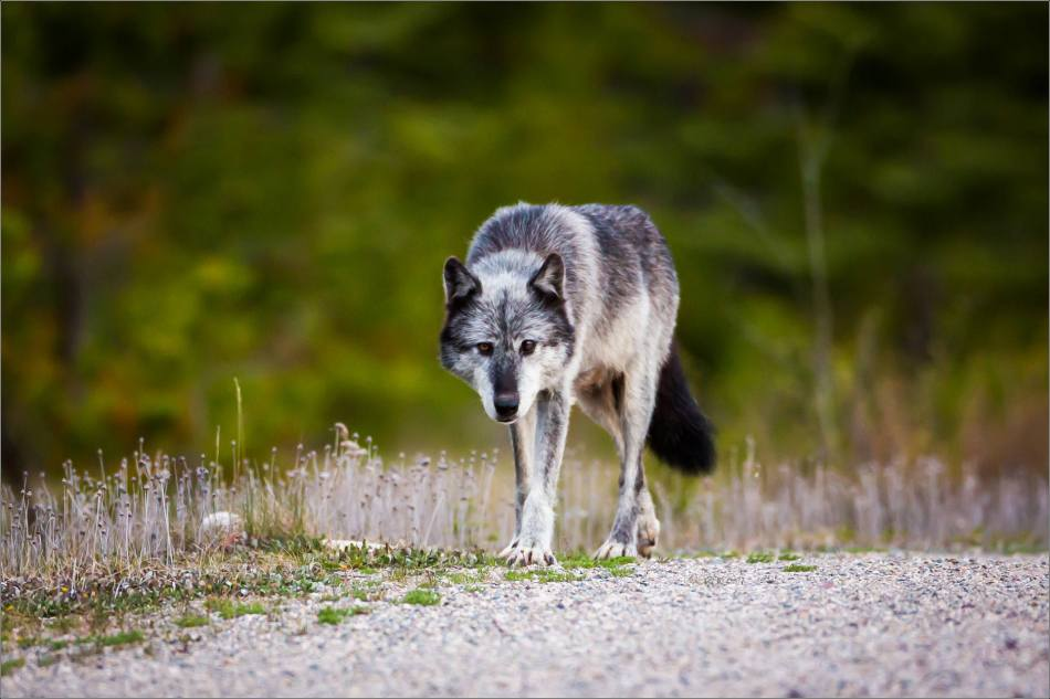 Highway 93 Wolf - © Christopher Martin-9010